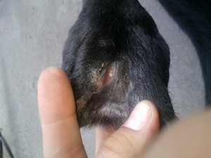 Antibiotic Resistant Ear Infection Dog