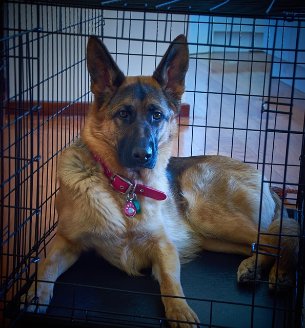 german shepherd, gsd, dog