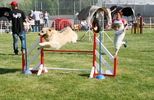 File:Golden retriever demonstrating an agility jump.jpg